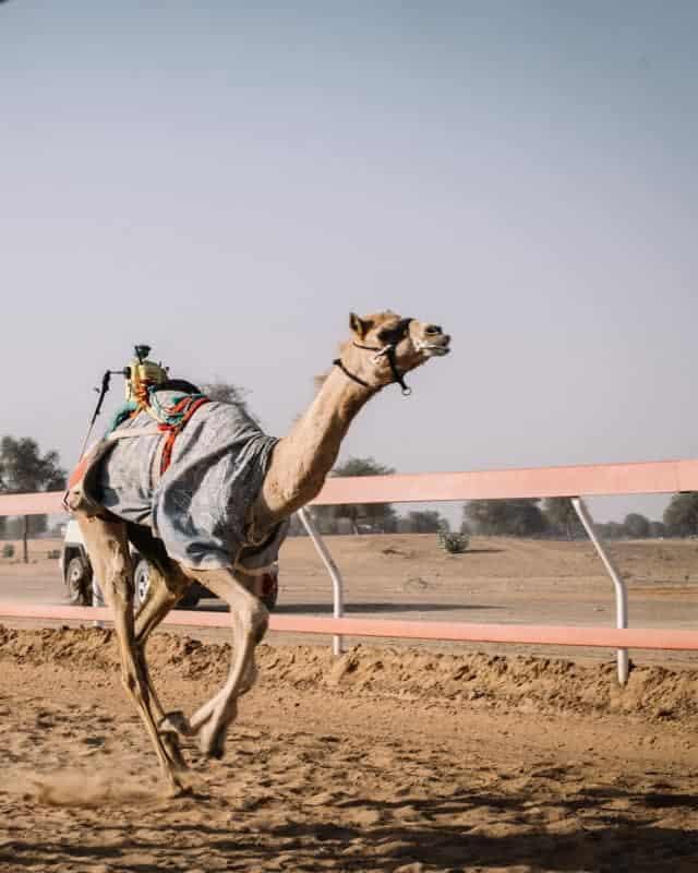course de dromadaire aux UAE avec robot cavalier