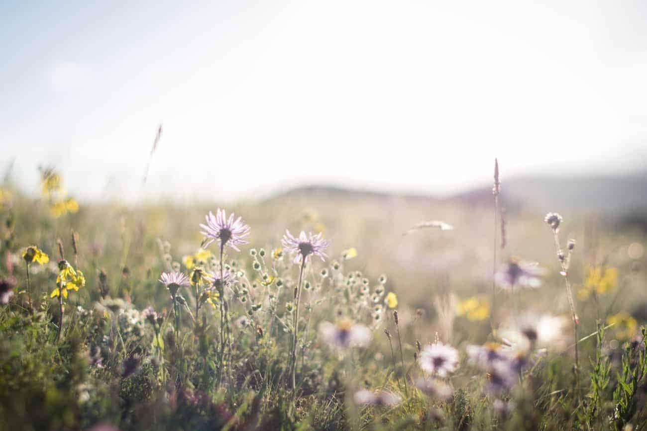 fleure kirghizistan jaune et violette