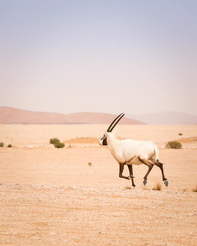 Oryx sauvage UAE