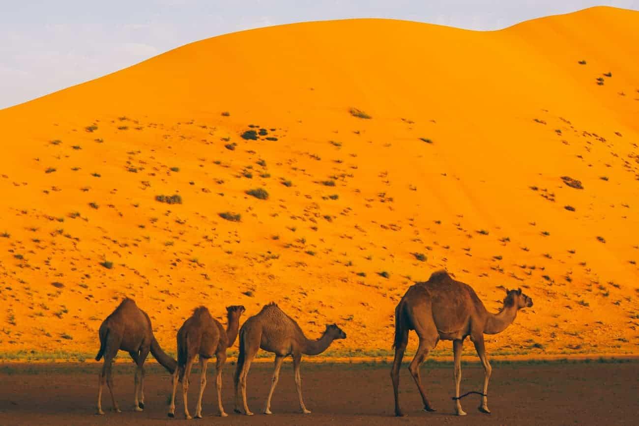 oman dromadaire dunes de sable au coucher de soleil