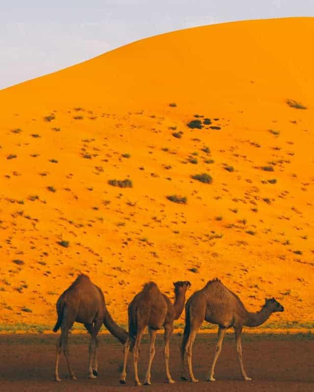famille dromadaire oman coucher de soleil