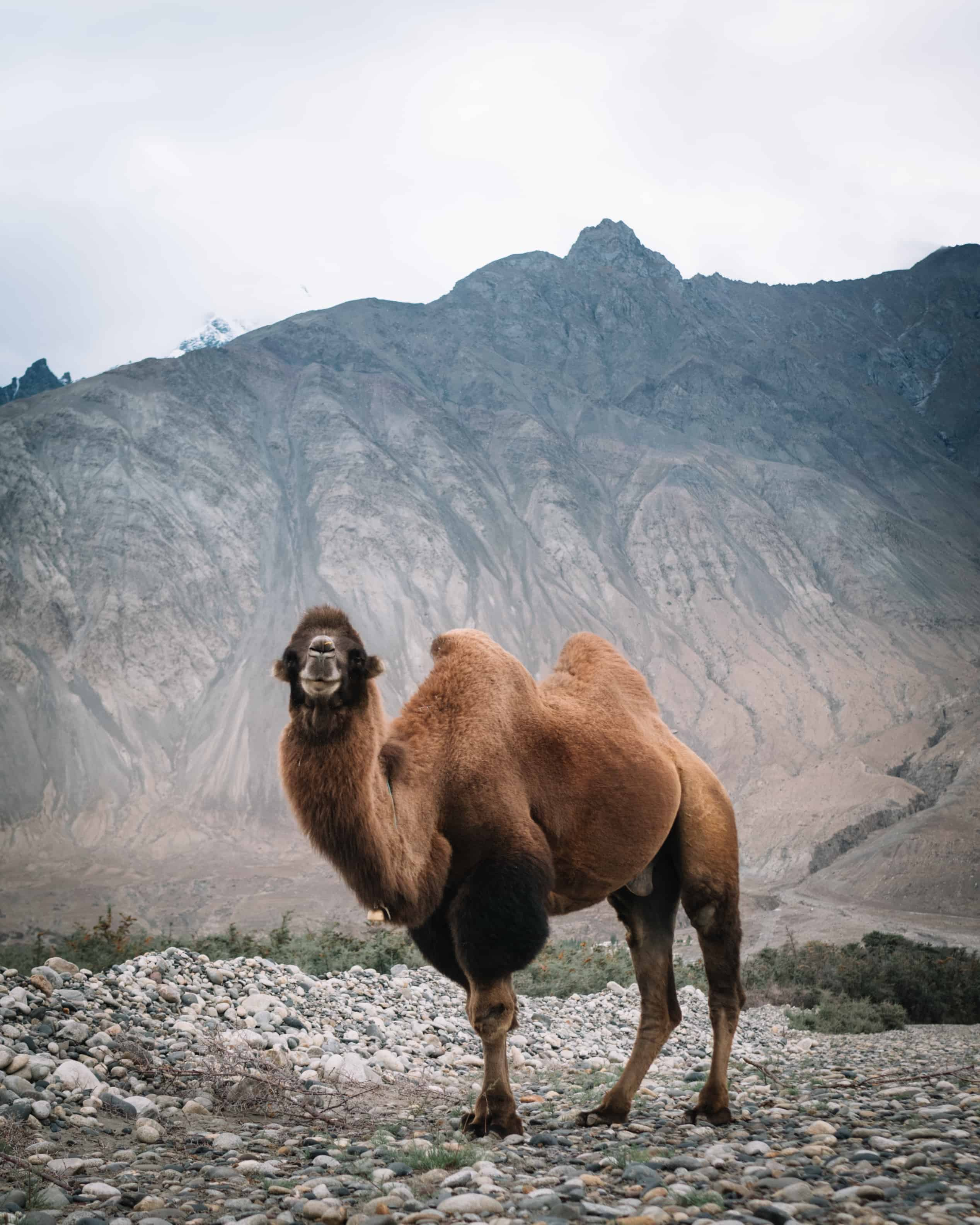 Chameau de Bactriane au Ladakh Nubra vallée