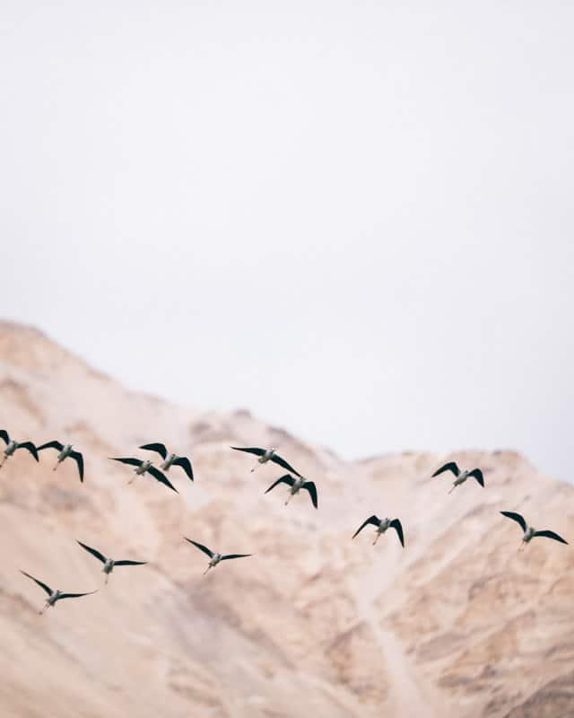 envol de mouette du Ladakh sur le lac Pangong